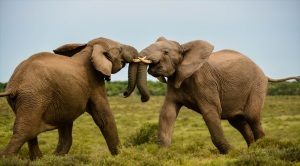 elephant-fight-far
